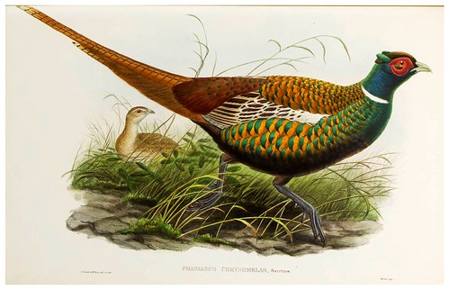 013-Oxus Pheasant-The birds of Asia vol. VII-Gould, J.-Science .Naturalis