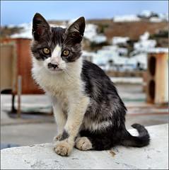 Mykonos Kitten. D3100. DSC_0527.