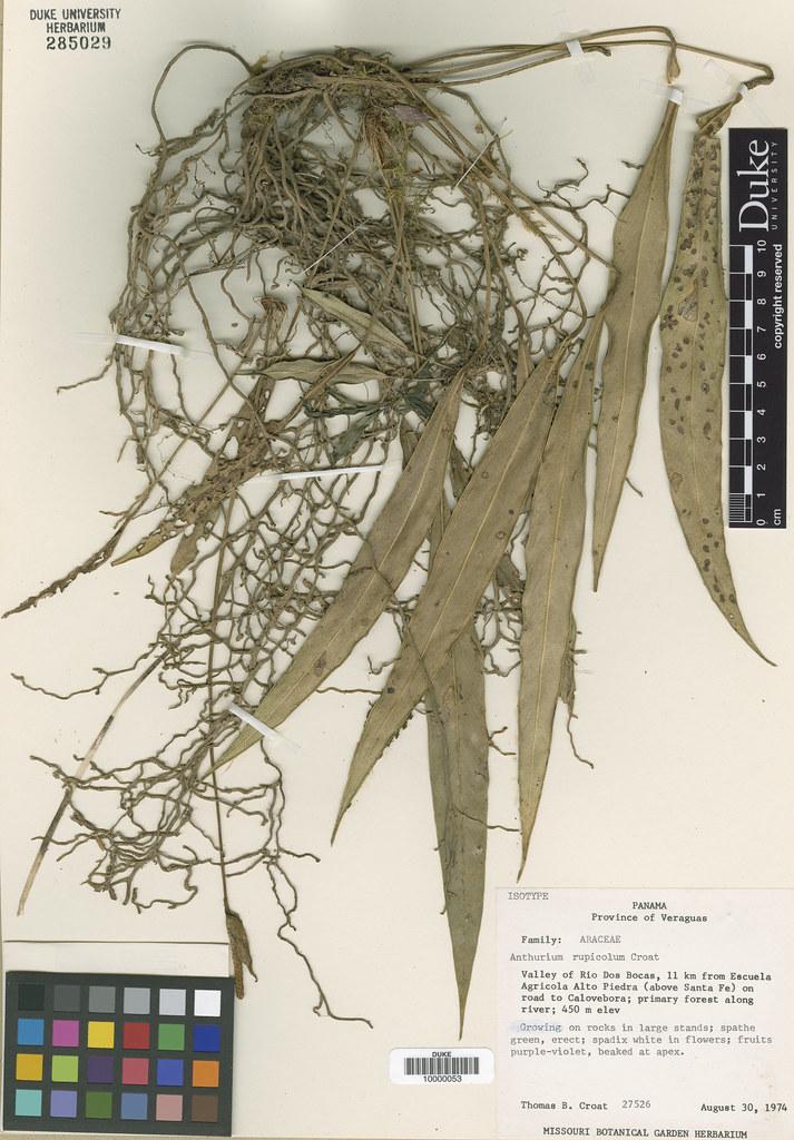 Araceae_Anthrium rupicolum