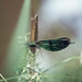 Small photo of Basket feet of Agrion virgo, Brecon Canal