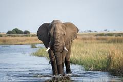 Bull elephant, crossing a river channel