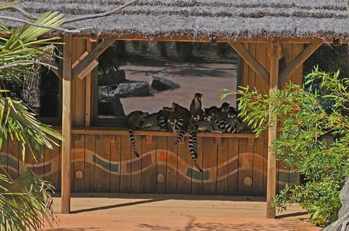 Kattas auf der Île des lémuriens