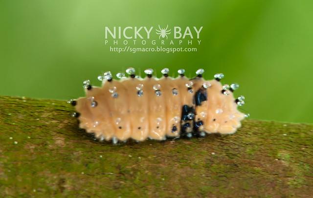 Day Flying Moth larva - DSC_6717