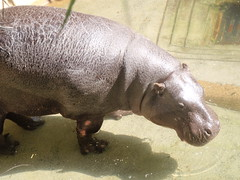 animal, hippopotamus, fauna,