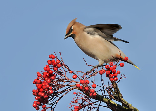 Waxwing3 by Andy Pritchard - Barrowford