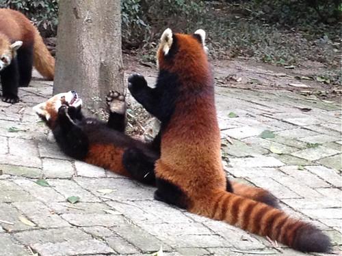 Red pandas 2