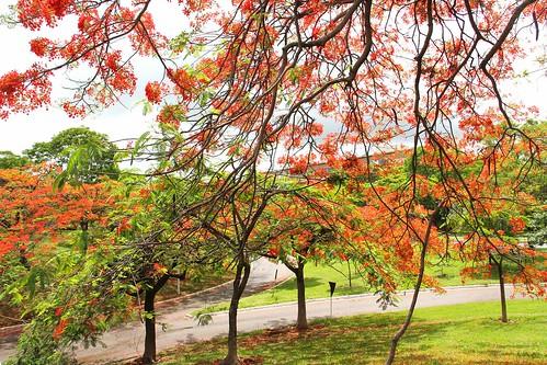 Brasília em época de flamboyan