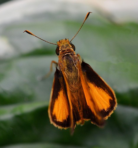 Colorful Skipper Butterfly.  Photo © Flickr user: KoolPix.