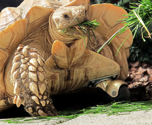 Amputee Tortoise