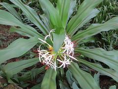 arecales(0.0), hymenocallis(0.0), ti plant(0.0), produce(0.0), flower(1.0), hymenocallis littoralis(1.0), plant(1.0), flora(1.0),