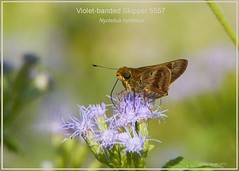 Violet-banded Skipper NABA Butterfly Center Mission Texas Butterfly Photography by Ron Birrell; DSC_5557