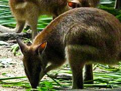 IMG_1534 Kangaroo