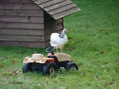 Blanchette la poule de luxe de la villa du guip en Bretagne sud dans le Finistère, decouvrez Concarneau, Pont Aven, Douarnenez