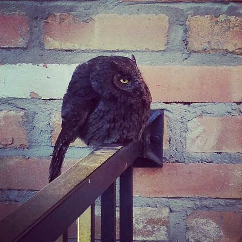 Screech owl just hangin out