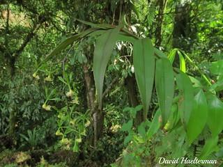 Epidendrum sp. (afine a paniculatum) in situ, Orosi, Costa Rica