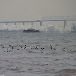 Brant in front of the Outerbridge Crossing