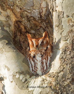 Eastern Screech Owl (Red Morph)