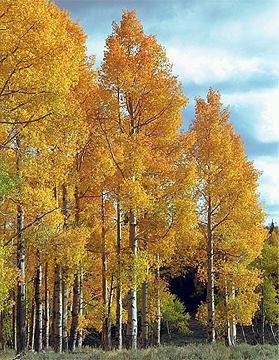 aspen tree baby name