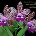 Cattleya Cruzeiro do Sul - melhor cattleya híbrida multiflora - cultivo  Orquidário Olimpia