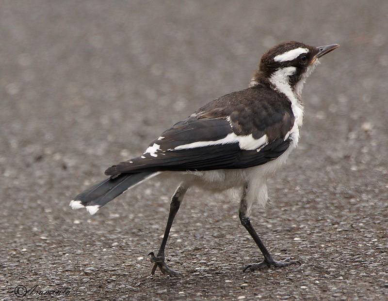 Juvenile Magpie Larks Birds In Backyards