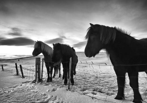 winter horse snow cold animal clouds sunrise fence iceland europe european tracks pony hoof mane toshio icelandichorse icelandicpony
