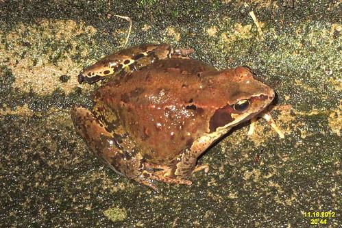 Common frog (BG)