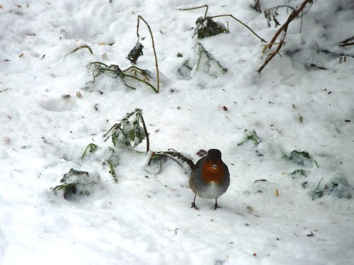 Robin with snow beak