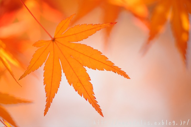 a maple leaf...