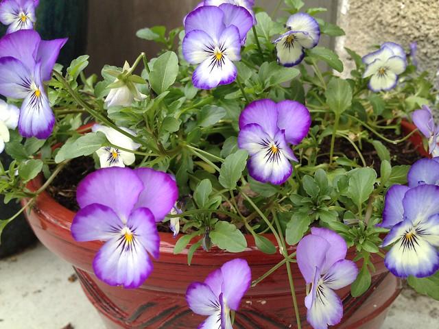 Lavendar pansies (Viola tricolor, Violaceae)