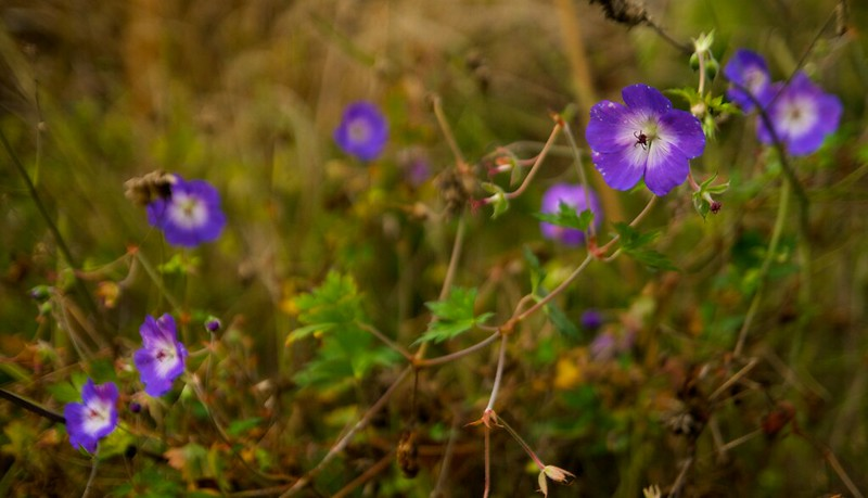 geranium rozanne december 2012  2951