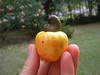 cashew_fruit