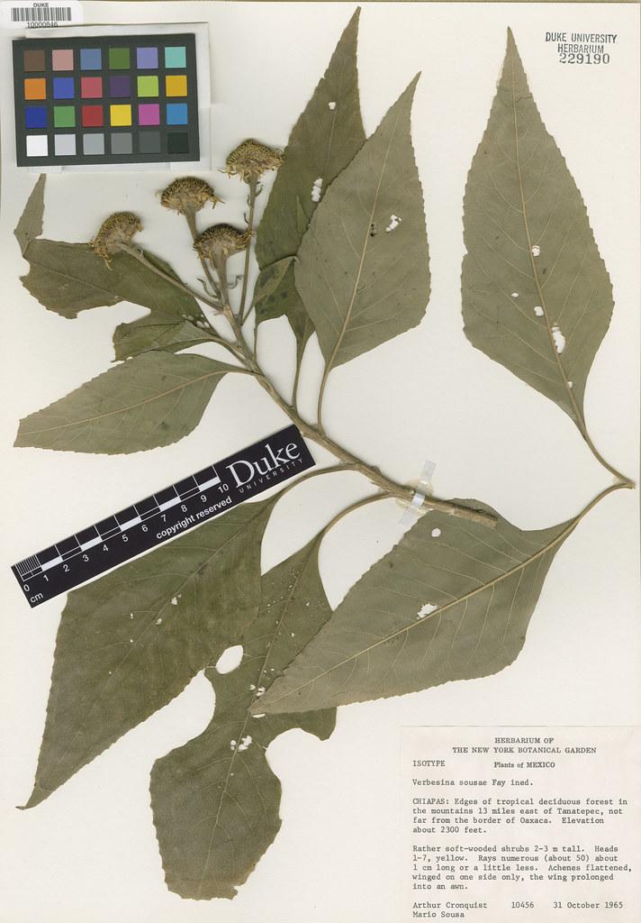 Asteraceae_Verbesima sousae