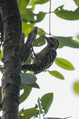 Freckle-breasted Woodpecker - Muara Angke - West Java_MG_5890