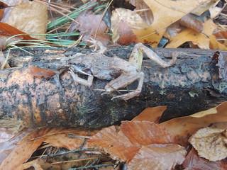 DOR Wood Frog :(