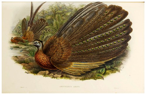 020-Argus Pheasant-The birds of Asia vol. VII-Gould, J.-Science .Naturalis