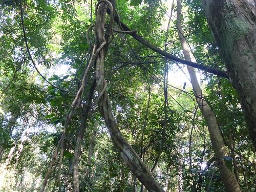 climber tropics liana