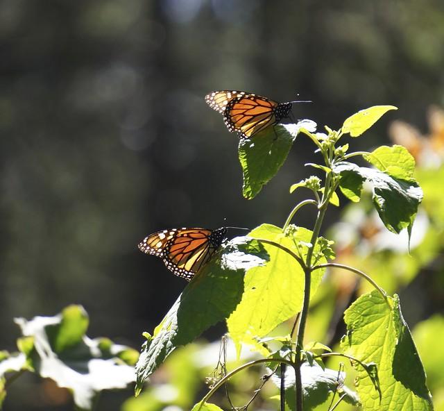 Monarchs 225