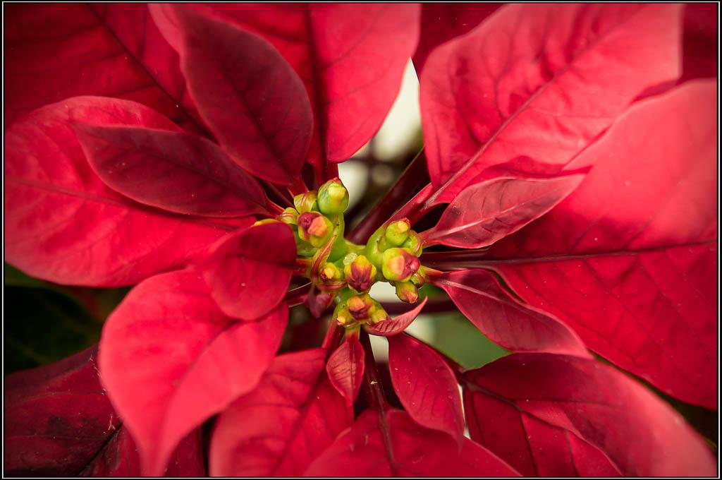 Flor de Pascua - Euphorbia pulcherrima