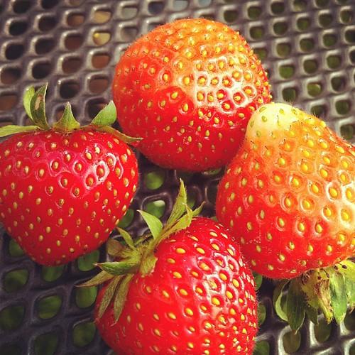 Premières fraises du jardin parental