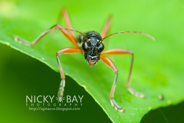 Longhorn Beetle (Cerambycidae) - DSC_2224