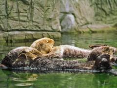 animal, mustelidae, mammal, fauna, sea otter, wildlife,