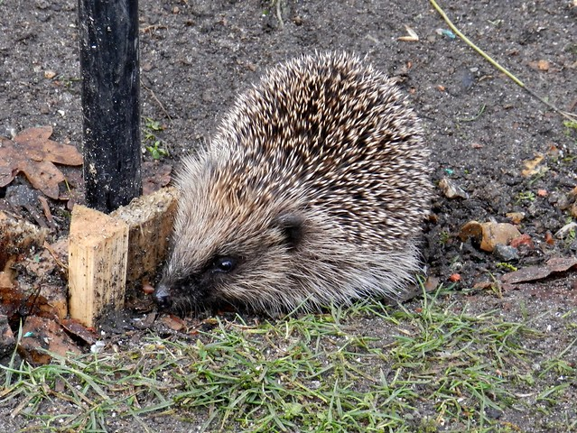 Young Hedgehog Feeding In Winter Flickr Photo Sharing