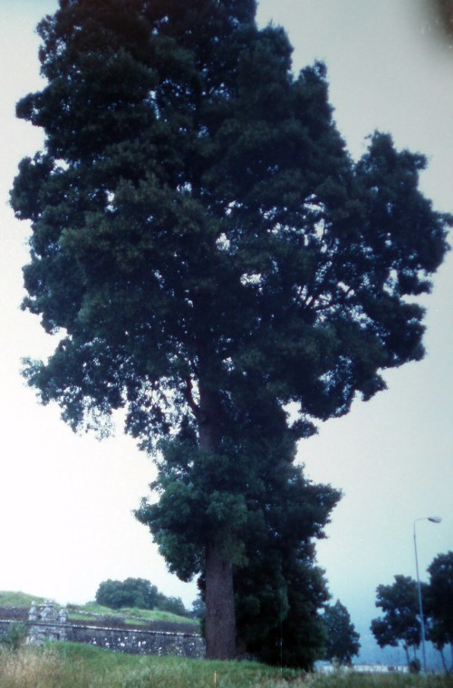 Acacia melanoxylon 8314976512_2588f9dc2c_o
