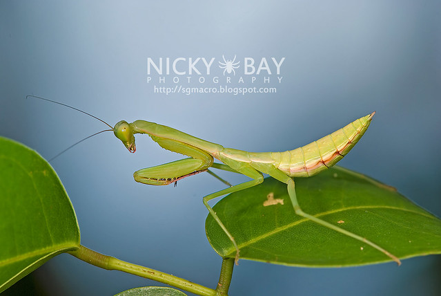 Praying Mantis (Mantodea) - DSC_9939
