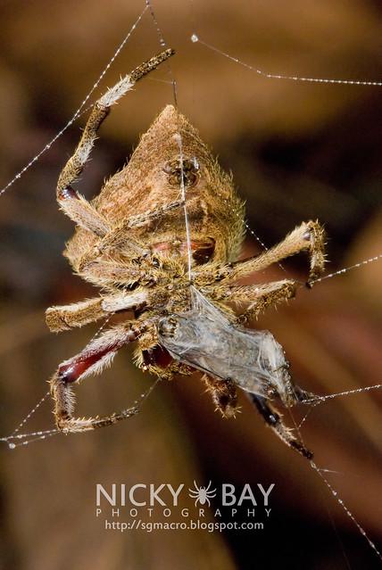 Common Garden Spider (Parawixia dehaani) - DSC_7611