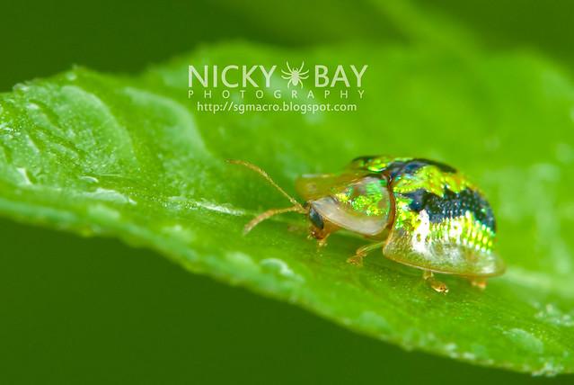 Tortoise Beetle (Hispinae) - DSC_6390