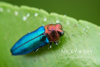 Jewel Beetle (Endelus sp.) - DSC_4197