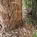 Garden Inventory: Eucalyptus - 09