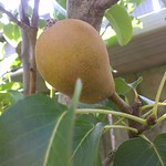 pear growing in our garden