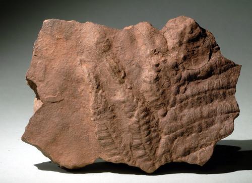 fossil sandstone sedimentary clastic sedimentaryrocks detrital fossilfern
